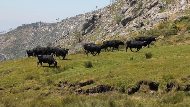 Trashumancia ganadera en Castilla, Puerto del pIco